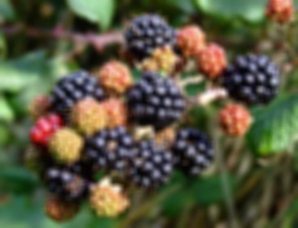 blackberries.jpg blurred out